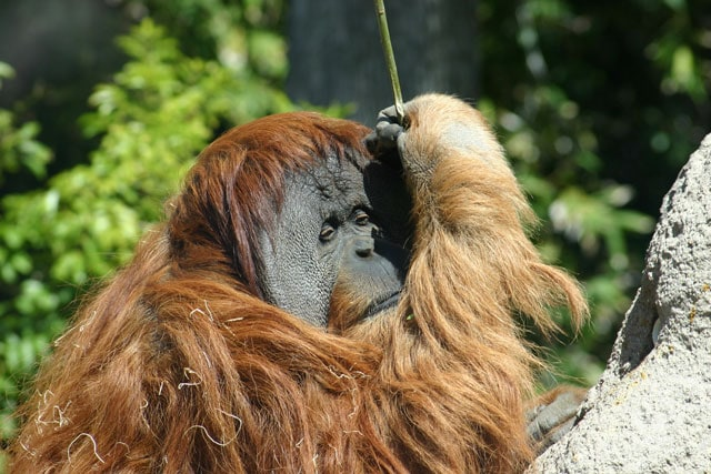 orangutan population decreasing